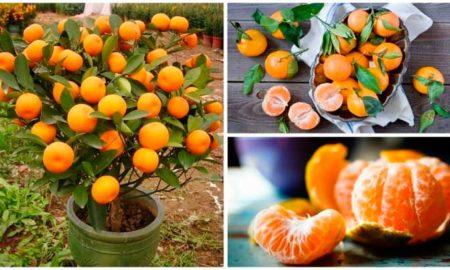 Mandarina-por-lotes