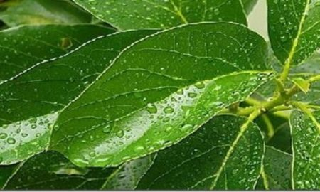 beneficios-de-las-hojas-de-aguacate