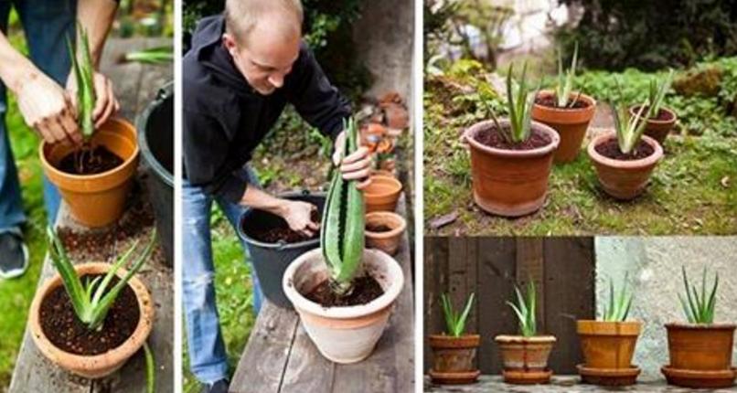 C mo hacer crecer aloe vera en casa planta medicinal - Cuidados planta aloe vera casa ...