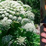 planta-Giant-Hogweed